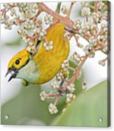 Bird With Berry Acrylic Print