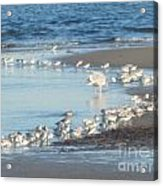 Birds And One Lone Seagull. Acrylic Print