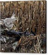 Birds Of Bc - No.13 - Snowy Owl Doo Doo Acrylic Print