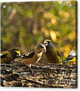 Birds Of Yellow Acrylic Print
