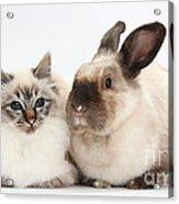 Birman Cat And Colorpoint Rabbit Acrylic Print