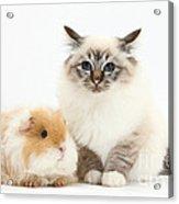 Birman Cat And Frizzy Guinea Pig Acrylic Print