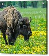 Bison And Friend Acrylic Print