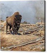 Bison And Geyser Acrylic Print