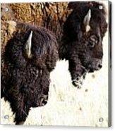 Bison Bison Acrylic Print