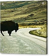 Bison Crossing Highway Acrylic Print