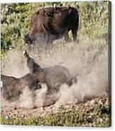 Bison Dust Bath Acrylic Print