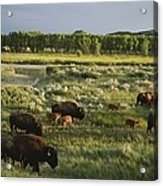 Bison Graze On Grasslands In The Park Acrylic Print