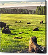 Bison Herd In Yellowstone Acrylic Print