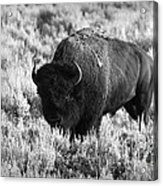 Bison In Black And White Acrylic Print