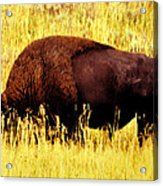 Bison In Field Acrylic Print