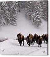 Bison In Winter Acrylic Print by DBushue Photography