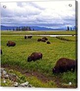 Bison-land Acrylic Print