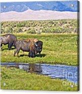 Bison On Big Spring Creek Acrylic Print