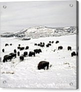 Bison Paw Away Snow With Head Acrylic Print