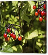 Bittersweet Berries (solanum Dulcamara) Acrylic Print