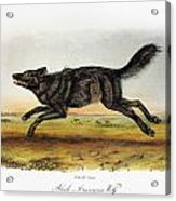 Black American Wolf Acrylic Print