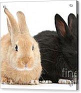 Black And Sandy Rabbits Acrylic Print