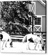 Black And White Clydesdale Grazing Acrylic Print