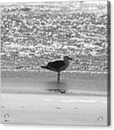 Black And White Gull Acrylic Print