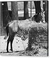 Black And White Hay Horse Acrylic Print