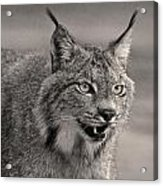 Black And White Lynx Acrylic Print