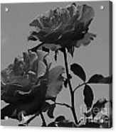 Black And White Roses Acrylic Print