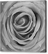 Black And White Spiral Rose Petals Acrylic Print