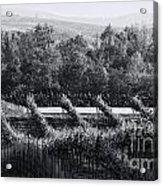 Black And White Vineyard Sunrise  Acrylic Print