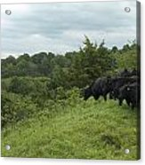 Black Angus Cattle Acrylic Print by Justin Guariglia