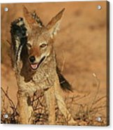 Black-backed Jackal Acrylic Print
