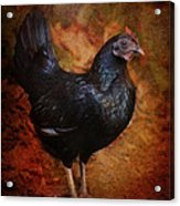 Black Bantam Chicken Acrylic Print