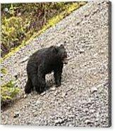 Black Bear 1893 Acrylic Print