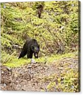 Black Bear 1899 Acrylic Print