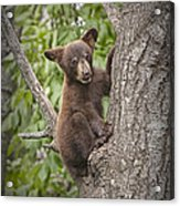 Black Bear Cub Hanging On Acrylic Print