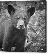 Black Bear Cub In A Pine Tree Acrylic Print