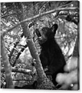 Black Bear Cub Acrylic Print