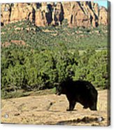 Black Bear In Utah Acrylic Print