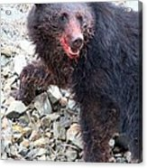 Black Bear Bloodied Lunch Acrylic Print