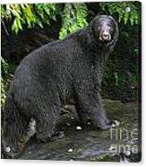 Black Bear Neets Bay Alaska Acrylic Print