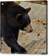 Black Bear Stepping Up In The World Acrylic Print