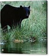 Black Bear Ursus Americanus Acrylic Print