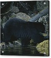 Black Bear With Her Young Cub Tagging Acrylic Print
