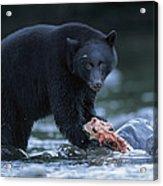 Black Bear With Salmon Carcass Acrylic Print