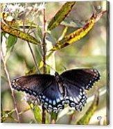 Black Beauty In The Bush Acrylic Print
