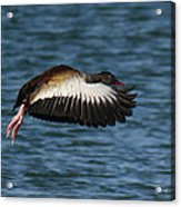 Black-belled Whistling-duck In Flight Acrylic Print