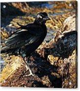 Black Bird With Yellow Eyes Acrylic Print