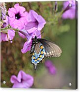 Black Blue And Orange Butterfly V3  Acrylic Print