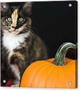 Black Calico Kitten With Pumpkin Acrylic Print