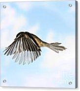 Black-capped Chickadee In Flight Acrylic Print
